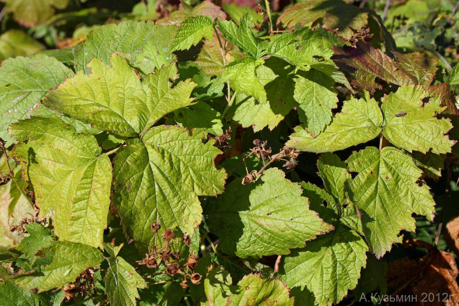 Ежевика сизая (Rubus caesius)